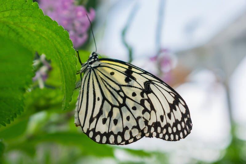 Opinião lateral da borboleta gigante bonita da ninfa de madeira fotografia de stock royalty free