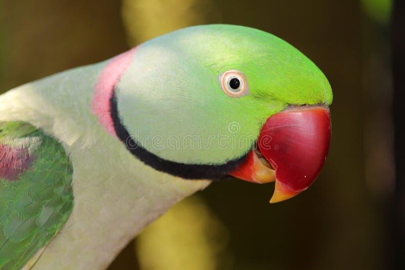 Opinião lateral da cabeça do papagaio do alexandrino foto de stock royalty free