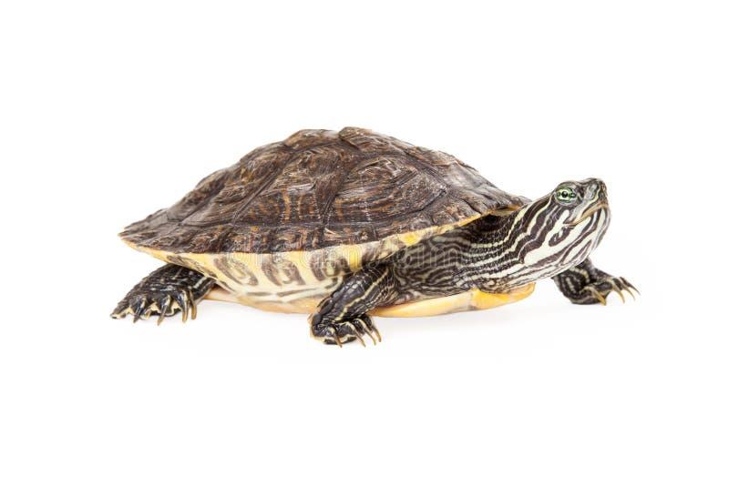 Opinião lateral da tartaruga do River Cooter foto de stock