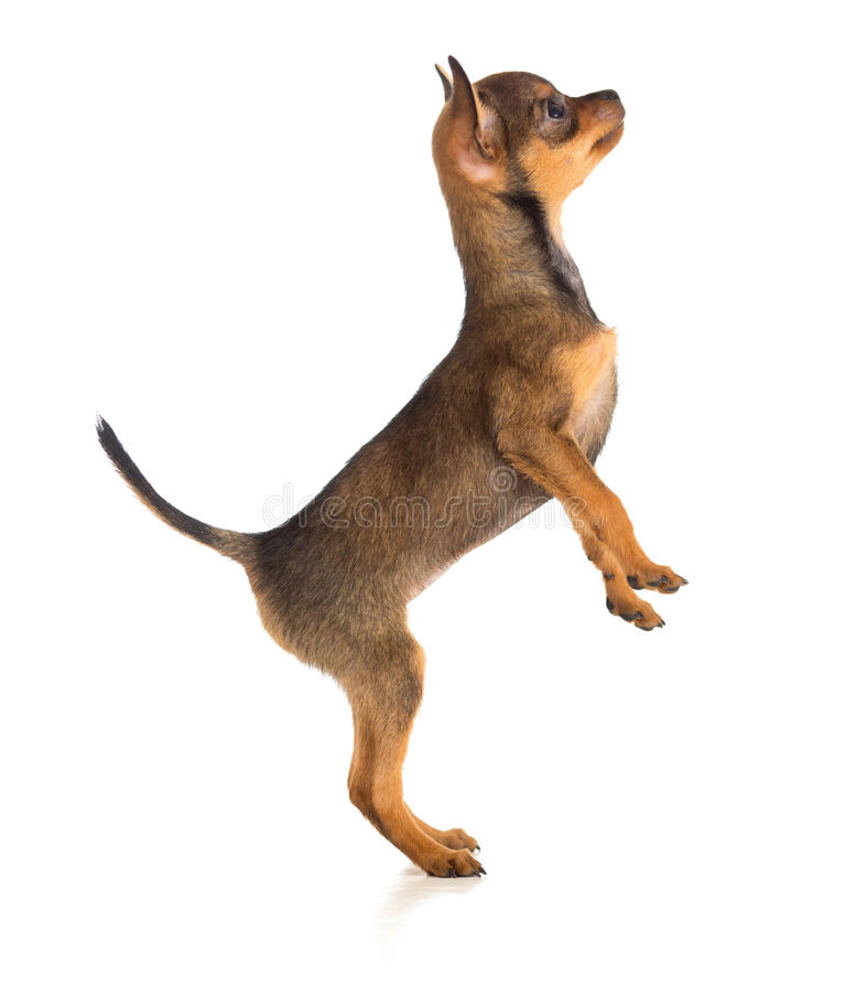 Opinião lateral do cão ereto imagens de stock