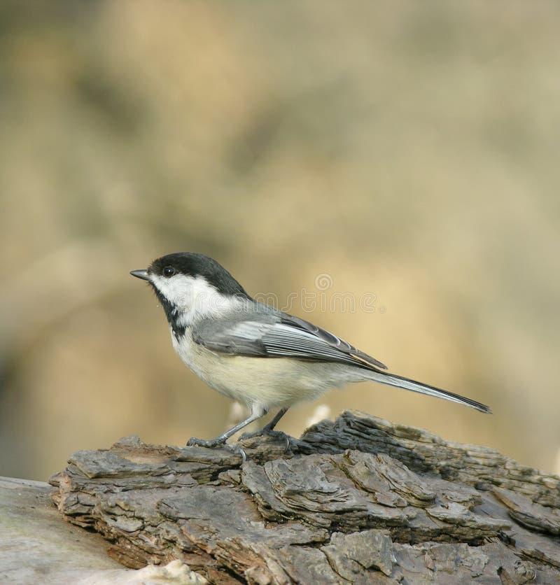 Download Opinião Lateral Do Chickadee Foto de Stock - Imagem de outdoors, madeiras: 107512