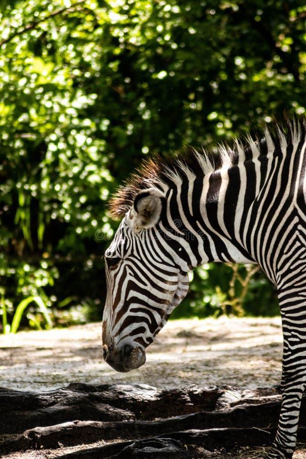 Opinião lateral do close up da zebra em Sunny Day fotografia de stock royalty free