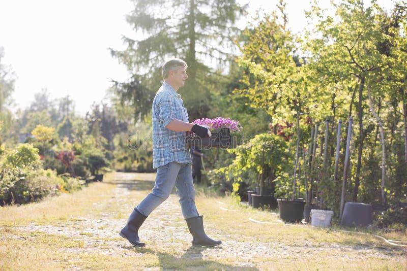 Opinião lateral do comprimento completo o jardineiro que anda ao levar a caixa de potenciômetros de flor no jardim fotografia de stock royalty free