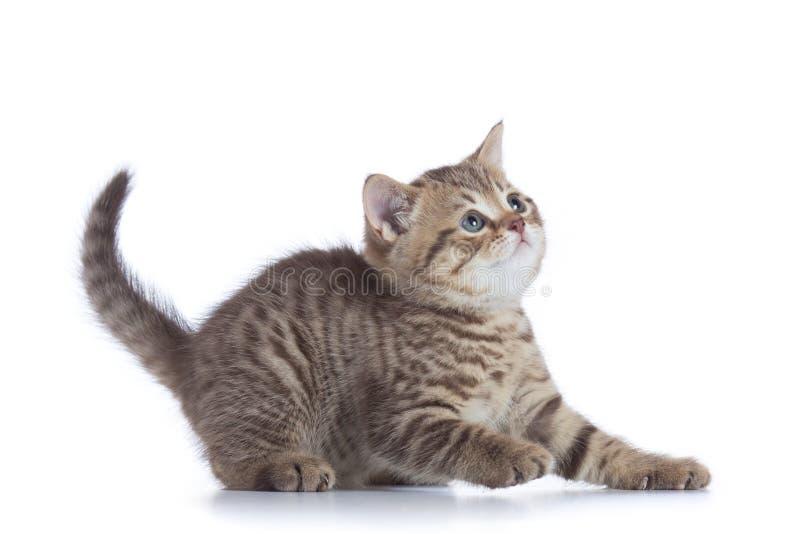 Opinião lateral do gatinho novo O gatinho do gato malhado do gato olha isolado acima fotos de stock