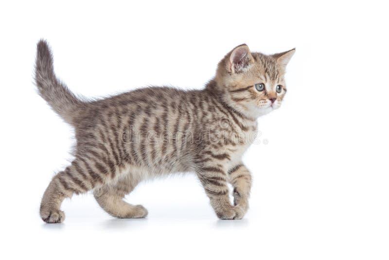 Opinião lateral do gato novo Gatinho de passeio do gato malhado isolado fotografia de stock royalty free