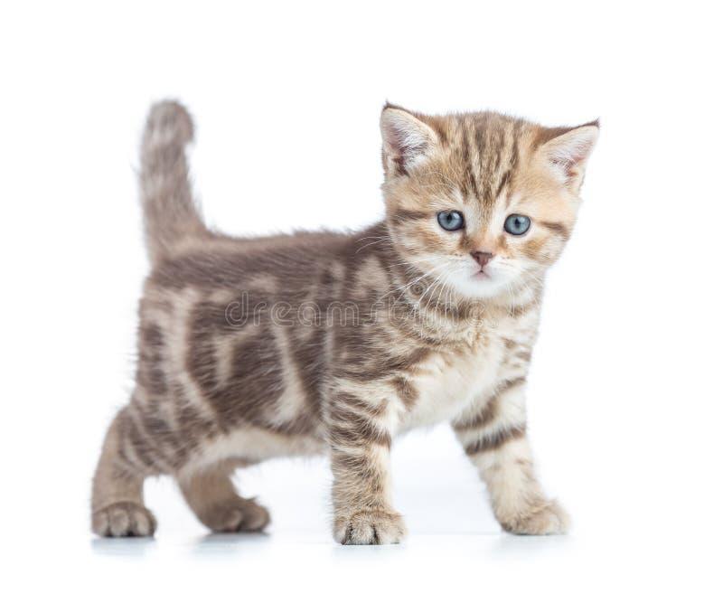 Opinião lateral do gato novo Gatinho de passeio do gato malhado isolado fotos de stock