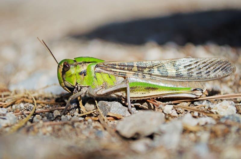 Opinião lateral locustídeo migratórios na região selvagem imagens de stock royalty free