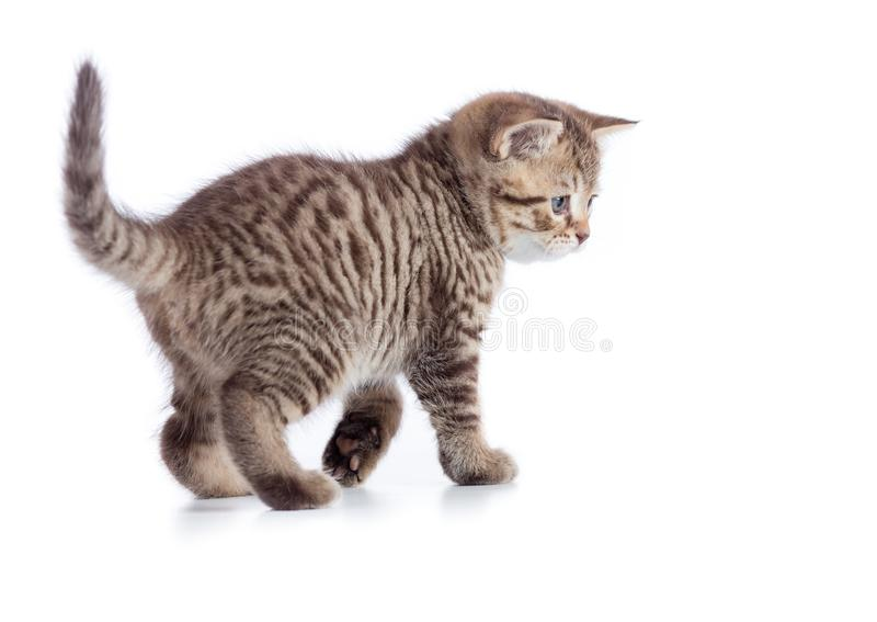 Opinião lateral nova de gato de gato malhado Gatinho de passeio isolado no branco fotografia de stock royalty free