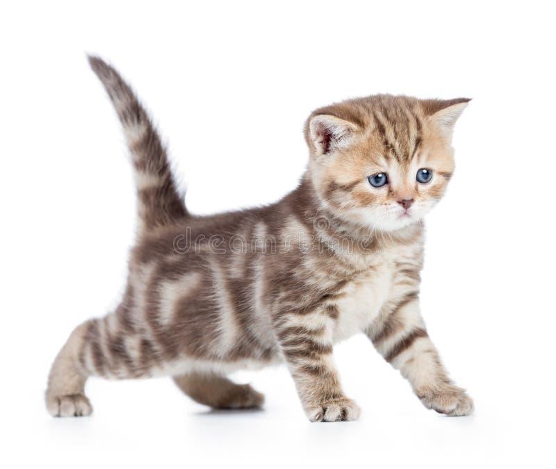 Opinião lateral nova do gato ou do gatinho do bebê isolada imagem de stock