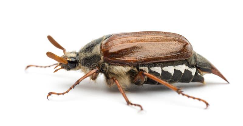 Opinião lateral o besouro europeu masculino, melolontha do Melolontha, igualmente conhecido como o erro de maio, Mitchamador imagens de stock