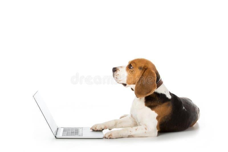 opinião lateral o cão adorável do lebreiro com o portátil no branco fotos de stock