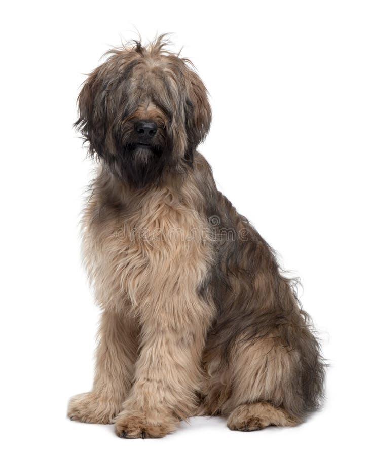 Opinião lateral o cão de Briard, sentando-se fotografia de stock
