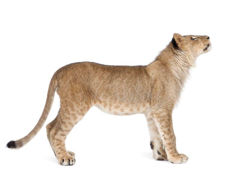 Opinião lateral o filhote de leão, 8 meses velho, posição fotografia de stock royalty free