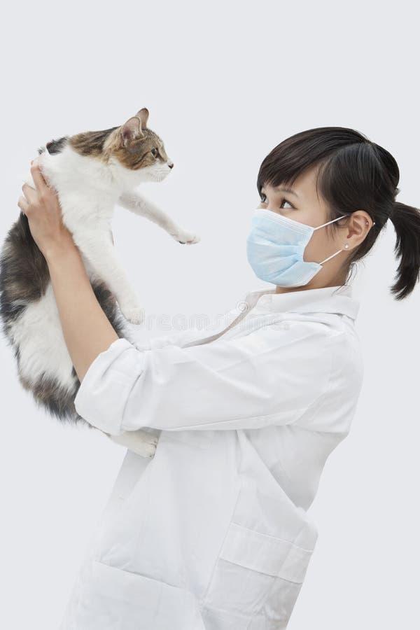 Opinião lateral o gato veterinário fêmea da sustentação contra o fundo cinzento foto de stock