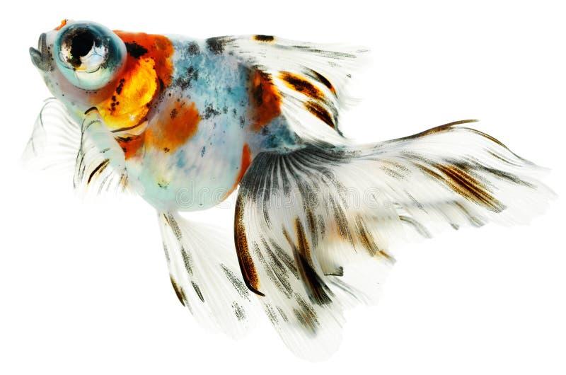 Opinião lateral o goldfish imagem de stock