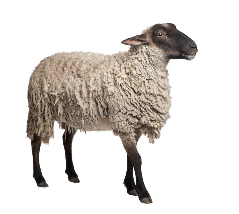 Opinião lateral um carneiro do Suffolk - (6 anos velho) imagens de stock