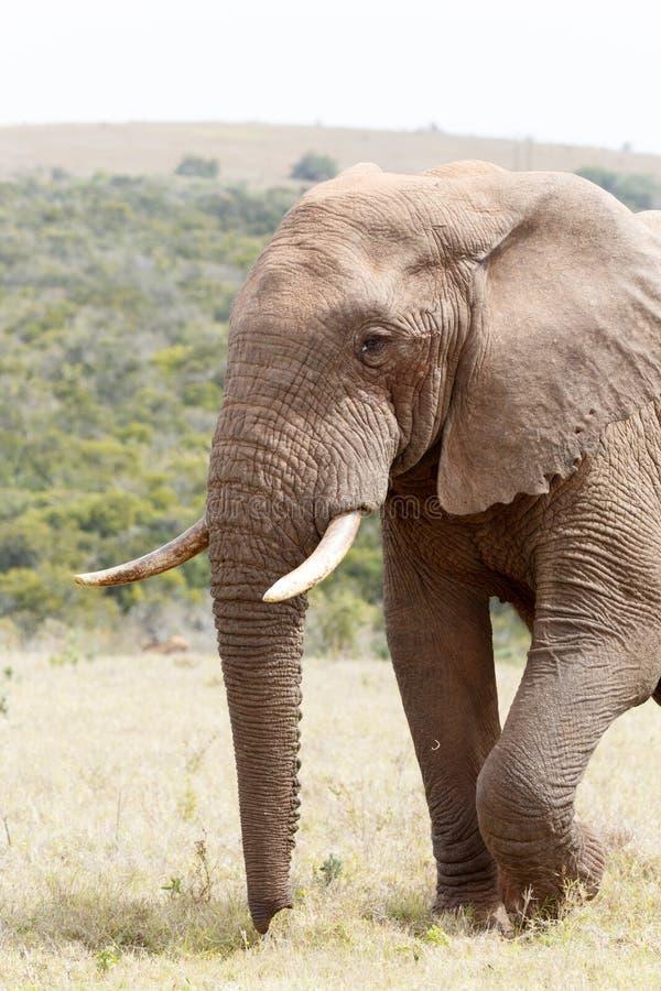 Opinião lateral um elefante de Bush fotografia de stock royalty free