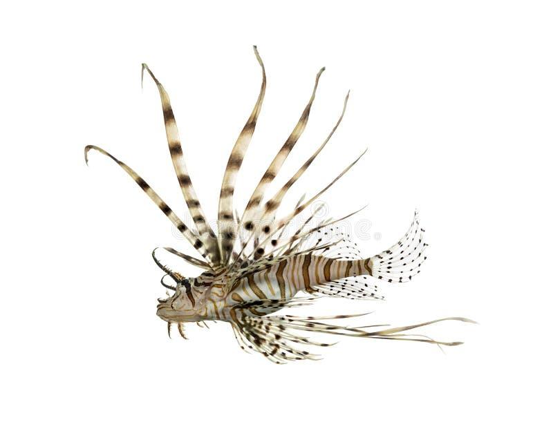 Opinião lateral um lionfish vermelho isolado no branco fotos de stock royalty free
