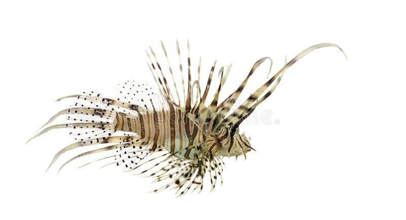Opinião lateral um lionfish vermelho isolado no branco imagens de stock