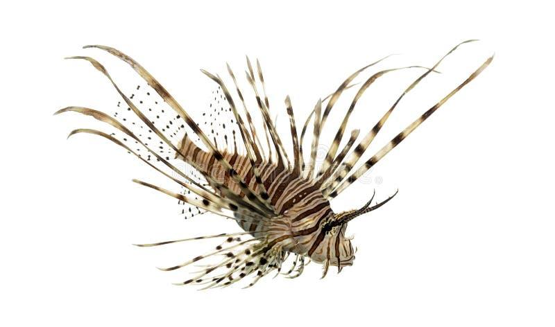 Opinião lateral um lionfish vermelho que olha para baixo fotos de stock