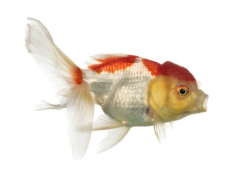 Opinião lateral um peixe dourado principal dos leões fotografia de stock