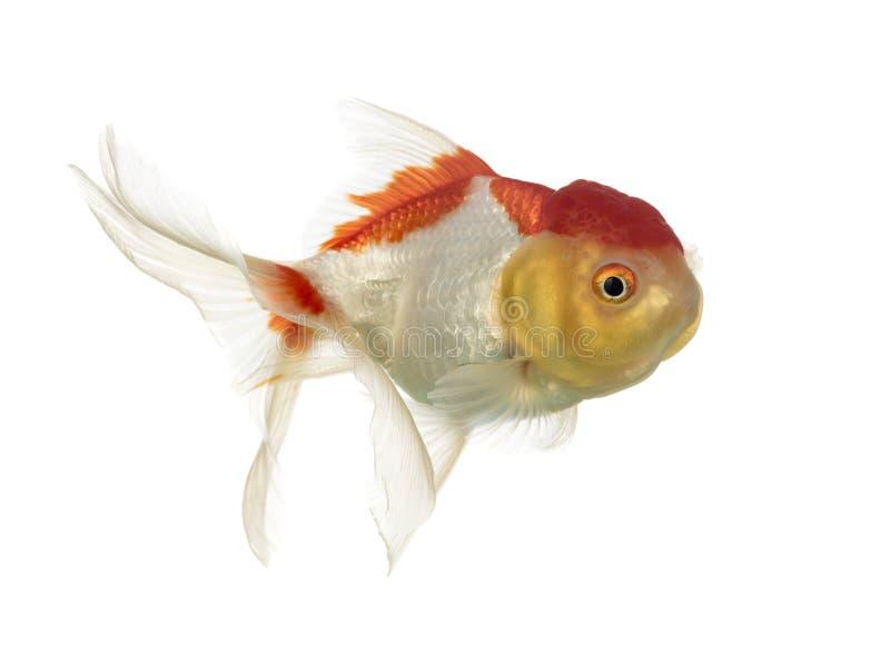 Opinião lateral um peixe dourado principal dos leões imagem de stock