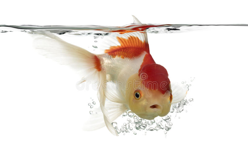 Opinião lateral um peixe dourado principal dos leões do mergulho imagens de stock