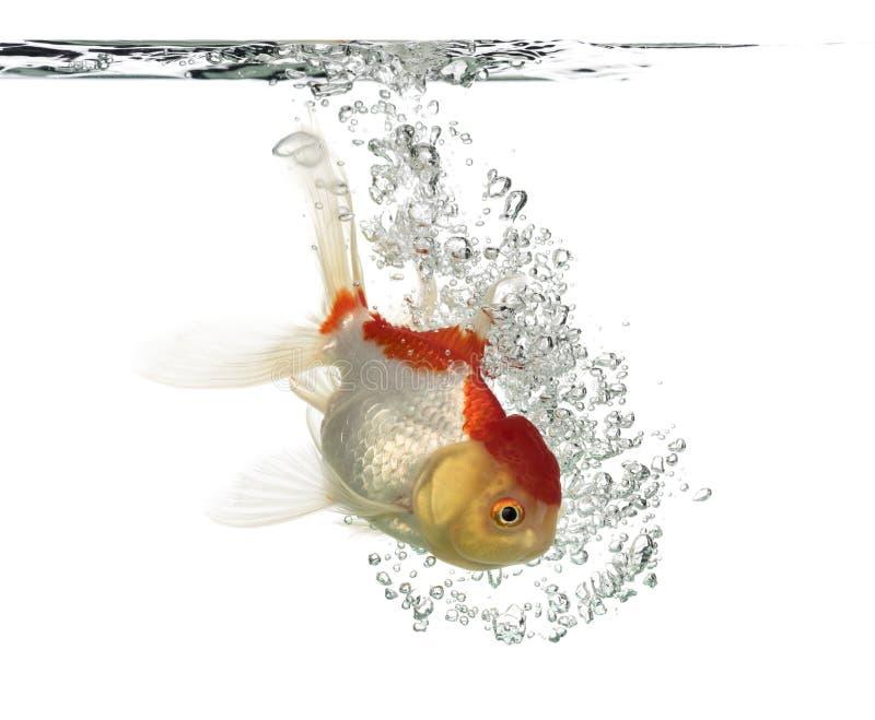 Opinião lateral um peixe dourado principal dos leões do mergulho fotos de stock