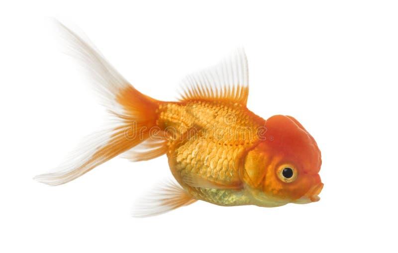 Opinião lateral um peixe dourado principal dos leões isolado no branco foto de stock