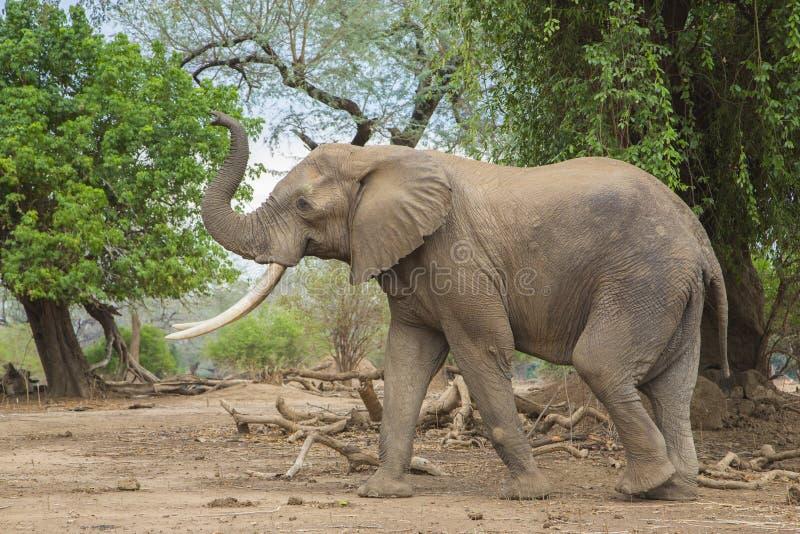Opinião lateral um touro do elefante africano com tronco acima fotos de stock