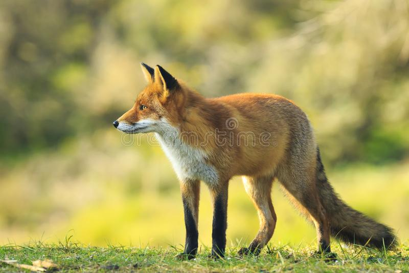 Opinião lateral um vixen novo selvagem do vulpes do vulpes da raposa vermelha que levanta i foto de stock