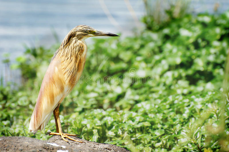 Download Garça-real Indiana Da Lagoa Foto de Stock - Imagem de verde, áfrica: 29834616