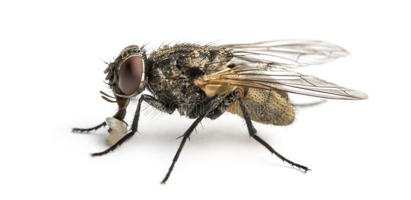 Opinião lateral uma mosca comum suja com larva, domestica do Musca fotografia de stock