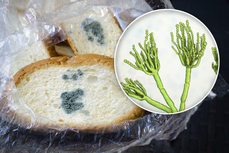 Opinião Mouldy fungos do Penicillium, o agente causal do pão e do close-up do molde de pão imagem de stock royalty free