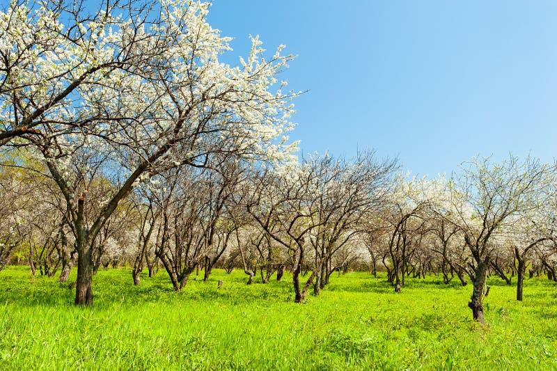 Opinião natural de florescência do jardim das árvores de maçã fotografia de stock royalty free