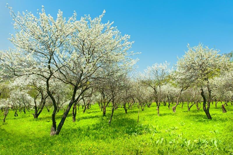 Opinião natural de florescência do jardim das árvores de maçã de Coreia fotografia de stock royalty free
