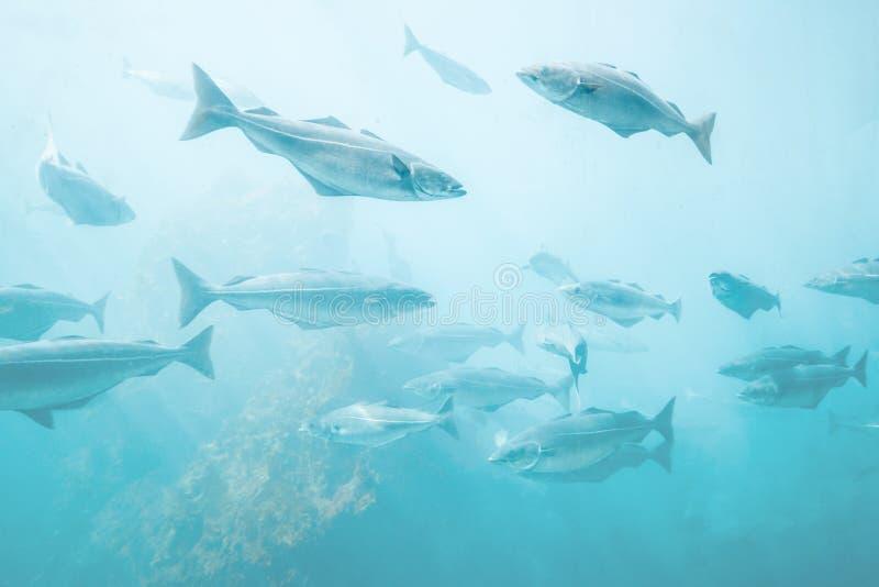Opinião natural subaquática do fundo dos peixes de mar foto de stock
