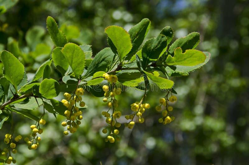Opinião o Berberis com folhas largas, o arbusto altamente ramificado, espinhoso e as flores aromáticas amarelas na montanha de Lo imagem de stock royalty free
