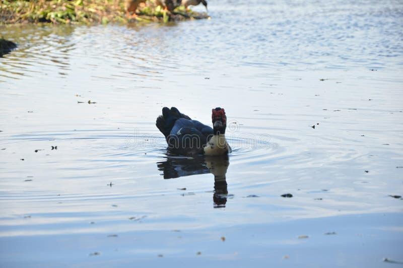 Opinião o pato do rio imagens de stock