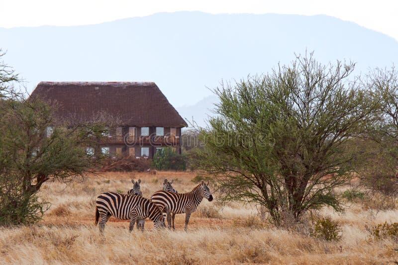 Opinião o rebanho das zebras no safari africano com grama seca e árvores no savana, com construção e alojamento no fundo imagens de stock