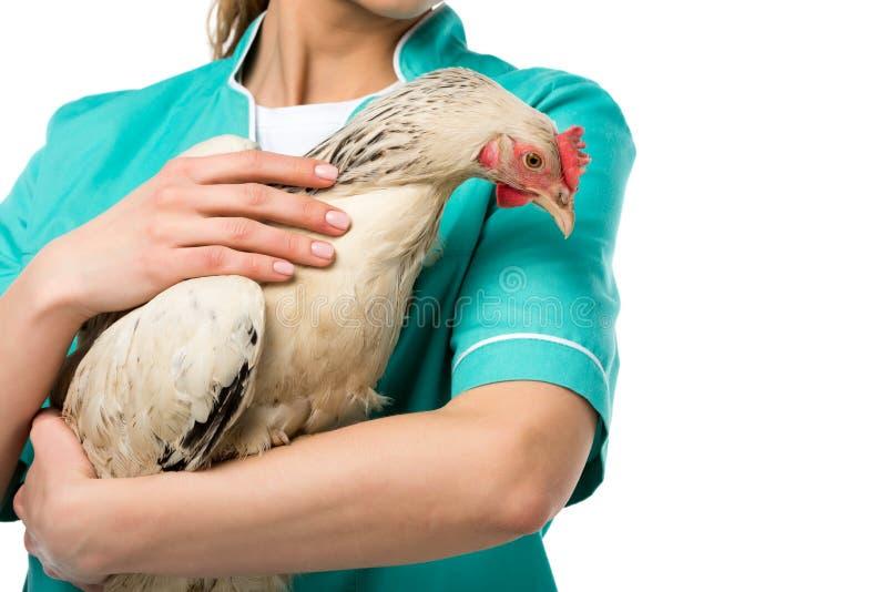 opinião parcial a galinha guardando veterinária fotografia de stock royalty free