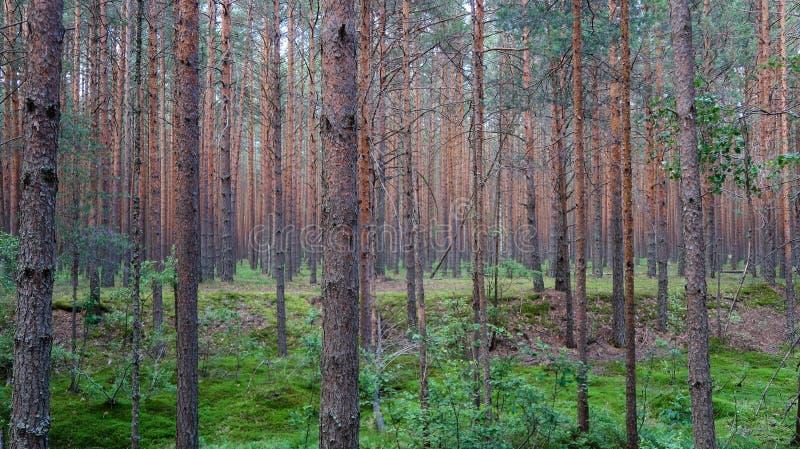 Opinião pitoresca da floresta do pinho Paisagem da natureza do ver?o R?ssia fotografia de stock royalty free