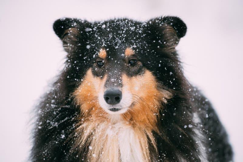 Opinião próxima o cão pastor de Shetland, Sheltie, Collie In Snowy Winter fotografia de stock royalty free