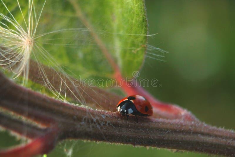 Opinião próxima um joaninha em uma folha Natureza bonita fotografia de stock