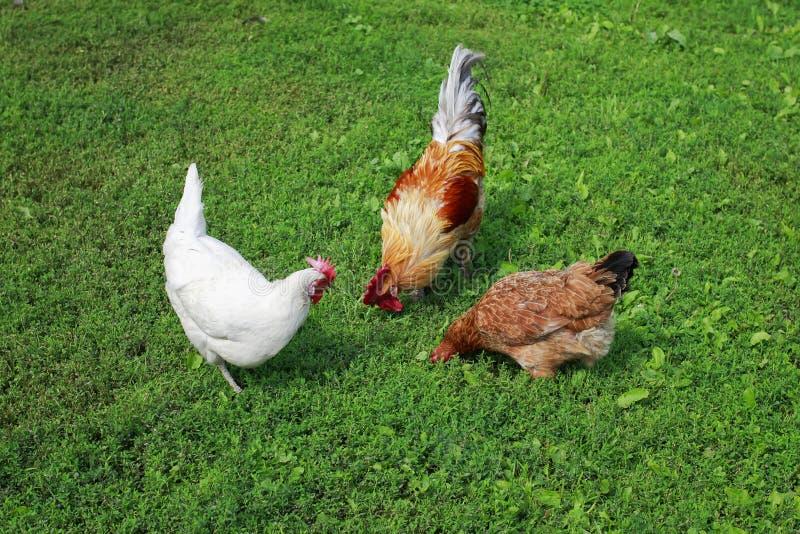 Opinião superior as aves domésticas a e as galinhas que andam na grama verde suculenta na jarda de exploração agrícola no verão imagens de stock