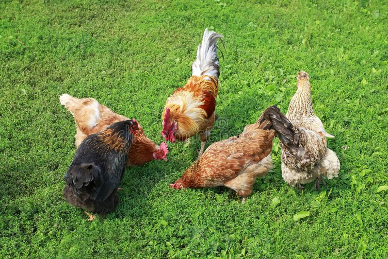 Opinião superior as aves domésticas a e as galinhas que andam na grama verde suculenta na jarda de exploração agrícola na primave fotos de stock royalty free