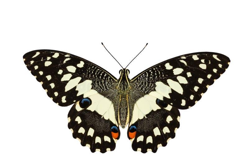 Opinião superior a borboleta do cal no fundo branco fotografia de stock royalty free