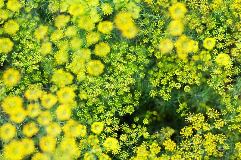 A opinião superior borrada do close up do fundo do aneto arbustos verdes, sementes de erva-doce amarelas cresce na cama do jardim fotos de stock