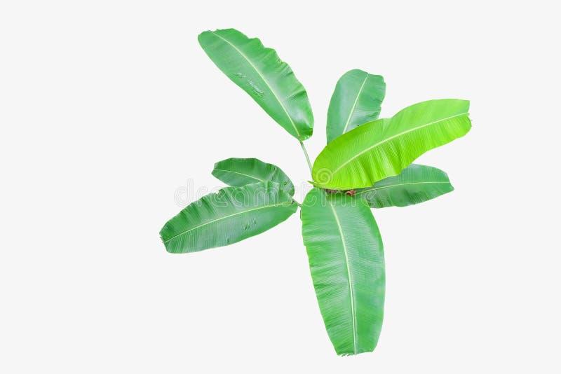 Opinião superior da árvore da folha da banana isolada no branco fotos de stock royalty free