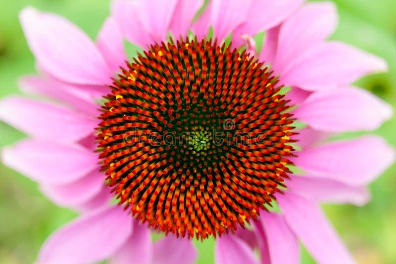 Opinião superior da flor do Echinacea fotografia de stock royalty free